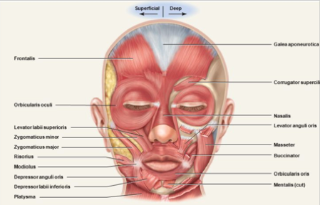 Facial muscles diagram image collections human anatomy organs diagram learn how to connect with your facial muscles through facial fitness ccuart Gallery